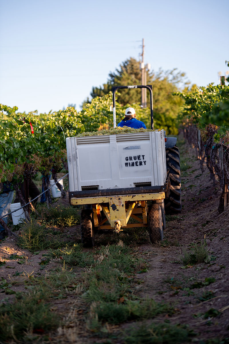 Winemaker driving tractor with grapes